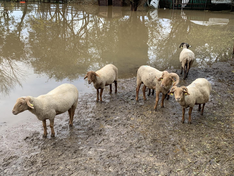 les moutons d'un berger de la Siagne, sauvés des eaux.