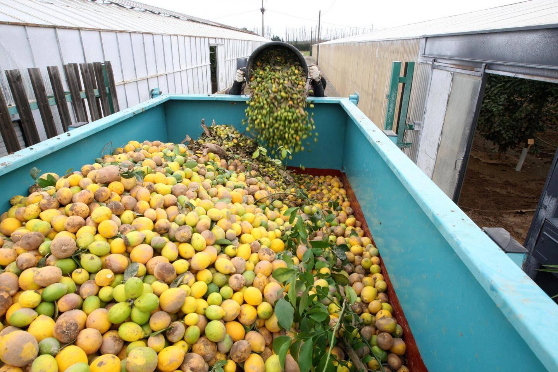Environ dix tonnes de citrons sont parties à la benne... pour faire du compost.