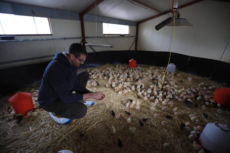 Les poussins ont un jour lorsqu'ils arrivent à la ferme des Galinettes.