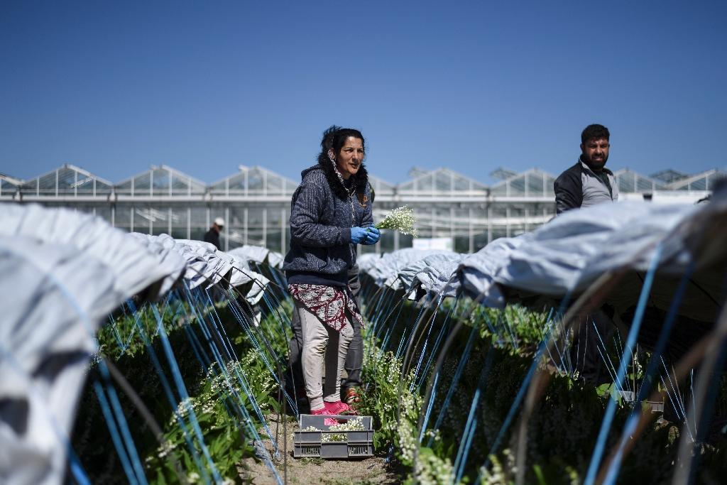 Récolte du muguet à Saint Philbert-de-Grand-Lieu, près de Nantes, le 14 avril 2020