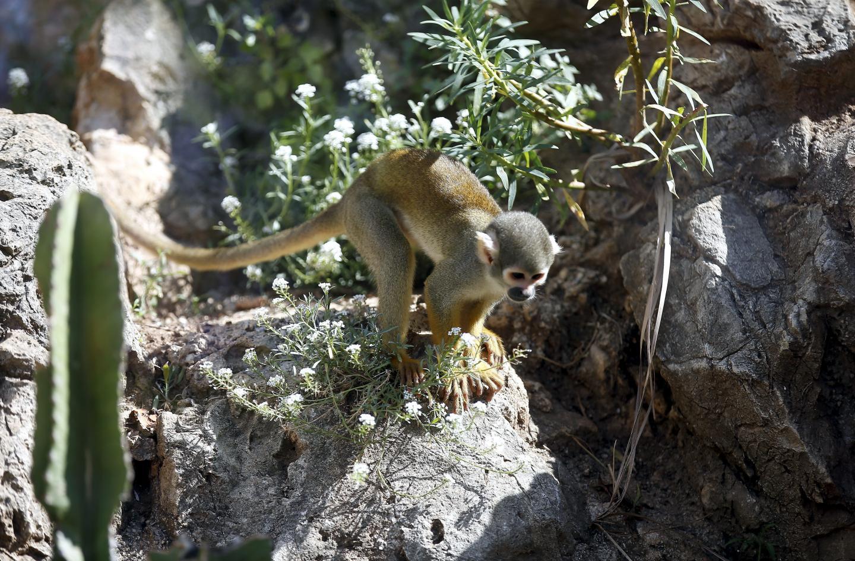 Les visiteurs vont pouvoir retrouver tous les petits singes, dans une forme particulièrement olympique.