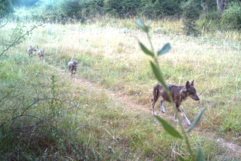 Une louve et ses louveteaux sur la commune des Mujouls : un spectacle rare capturé par les caméras de l'OFB.