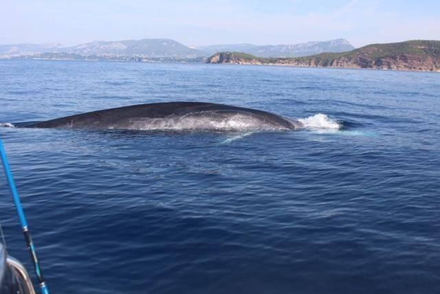 """""""Le rorqual commun est la baleine de Méditerranée: elle passe l'été par ici et quitte le sanctuaire Pelagos pour les Baléares et le sud en hiver""""."""