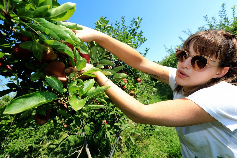 La cueillette des pommes au Domaine d'Astros.