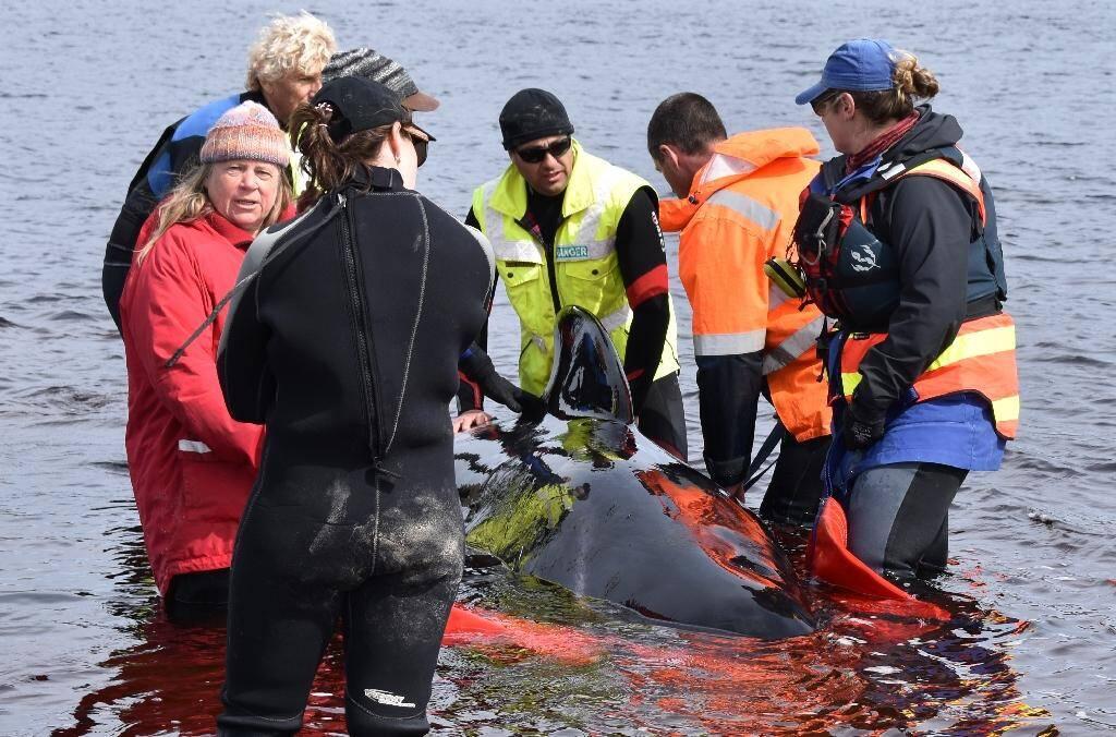 """Des personnes tentent d'aider des """"dauphins-pilotes"""" échoués dans la baie de Macquarie Harbour, le 24 septembre 2020 dans le sud-ouest de l'Australie"""
