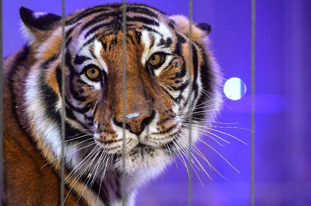 Un tigre dans la ménagerie du Festival international du cirque de Massy dans l'Essonne, le 13 décembre 2017