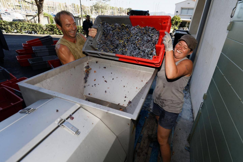 Après avoir passé une nuit au frais, les raisins sont égrappés et pressés.