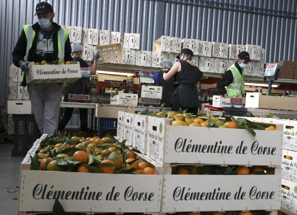 Préparation des expéditions de cagettes de clémentines à Folelli en Corse le 29 octobre 2020