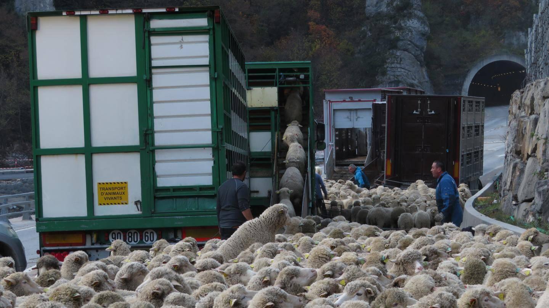 Les brebis ont dû traverser le village pour rejoindre les camions