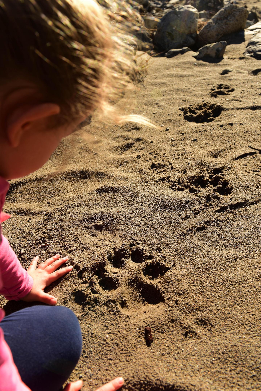 Rémy Masséglia piste les loups avec sa fille. Ils ont commencé par trouver des empreintes de Khan.