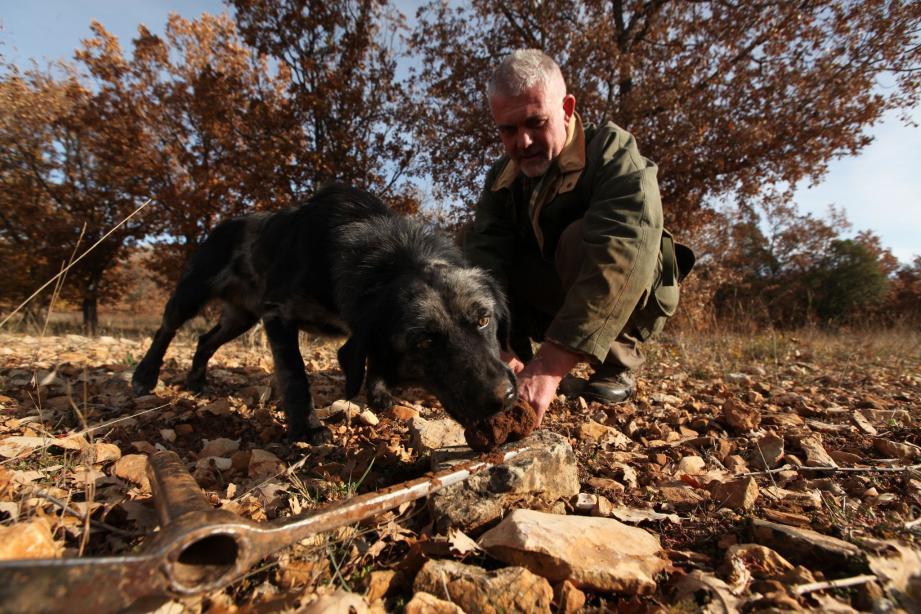 Vers Bauduen, dans les truffières de Philippe De Santis, les truffes sont ramassées plusieurs fois par jour par des caveurs professionnels.