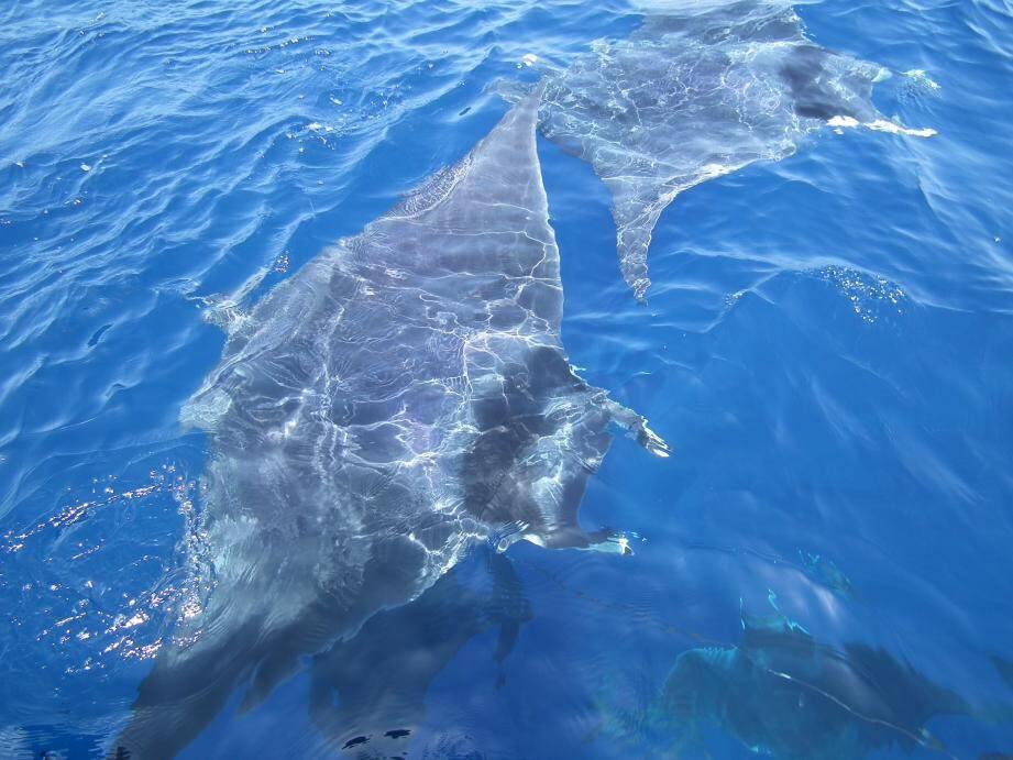 """Ce banc de six individus a été observé depuis le bateau d'éco-tourisme """"L'Atlantide"""", au large de Bandol, le 24 juin."""