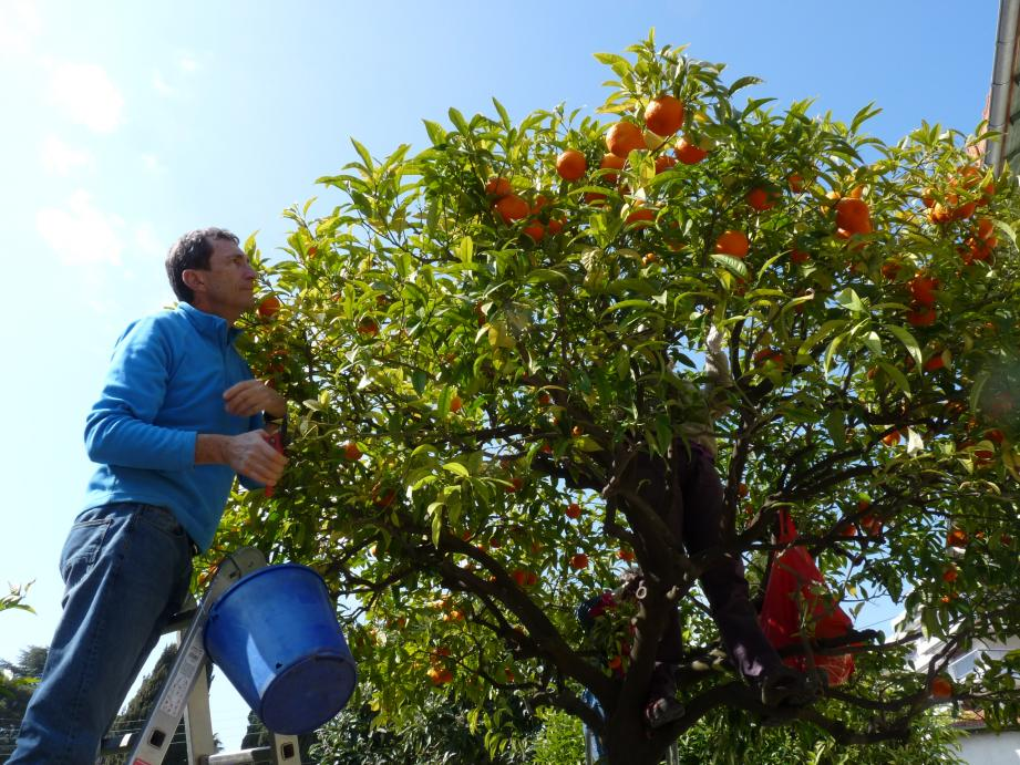 Jean-Marc cueille des oranges amères au Cannet pour éviter le gaspillage.
