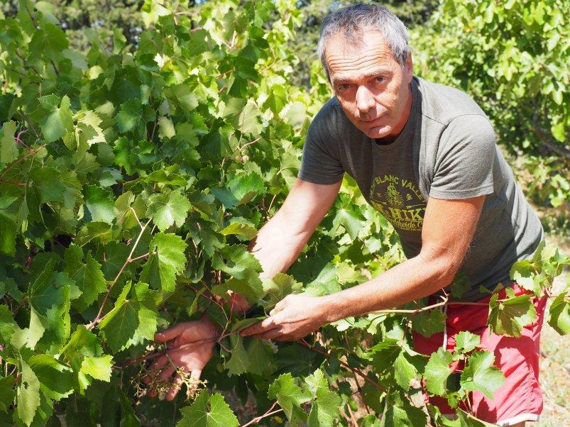 Les grappes de raisin de tables, charnues et arrivées à maturité fin juillet ont été décimées.