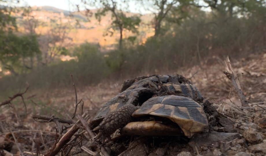 Une tortue d'Hermann morte sur le terrain