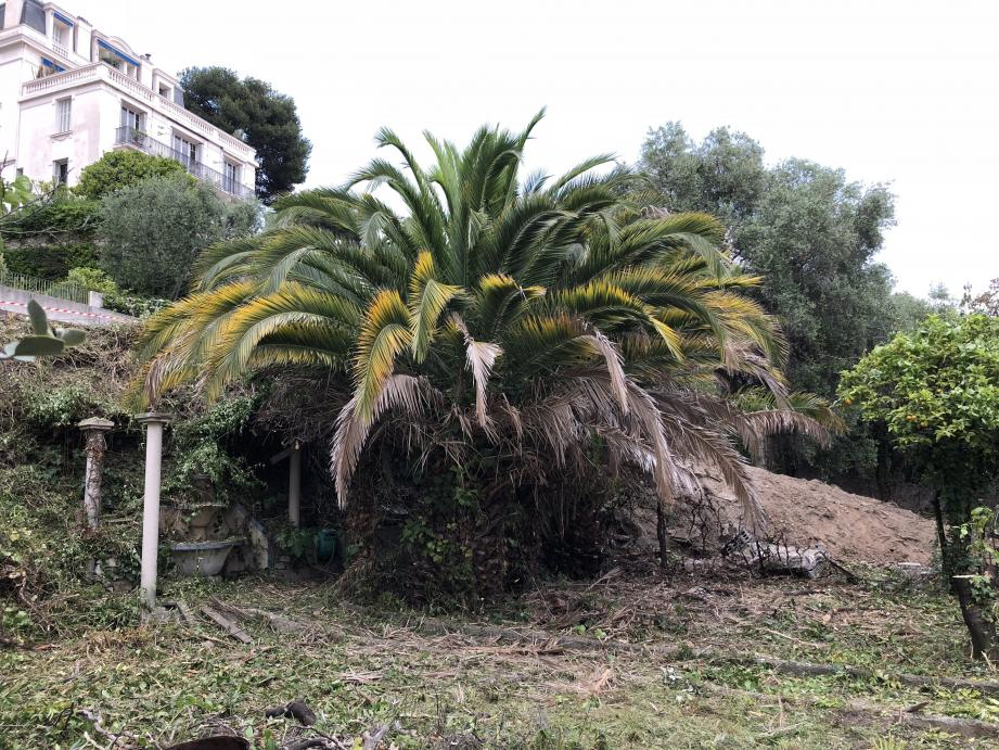 Les palmiers quand ils étaient encore debout.