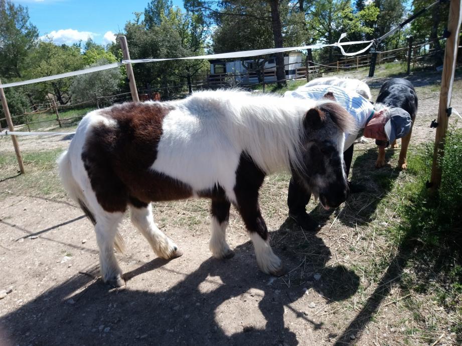 Cheyenne, le poney, s'est vu confier le désherbage du potager… Une façon de mettre la patte à la pâte.