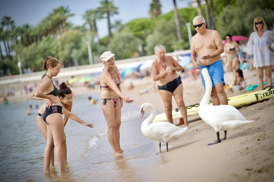 Les palmipèdes font le bonheur des baigneurs.