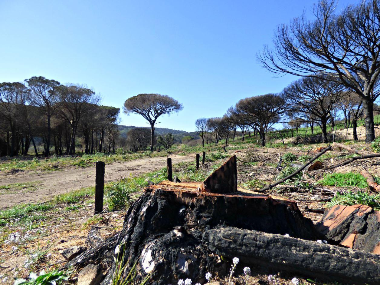 En bordure de chemins, les arbres fragilisés par le feu menaçaient de s'écrouler sur les randonneurs.