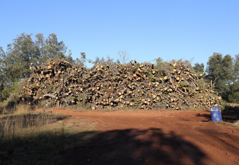 Les billons de pins (sur la gauche) vont être broyés sur place. Les plaquettes prendront la direction d'une centrale énergie. « L'ONF contractualise directement avec les entreprises. Nous maîtrisons ainsi plus finement son intervention. » Les coupes des taillis  - chênes blancs et verts  - (sur la droite), vendus sur pied à l'exploitant, serviront au bois de chauffage.