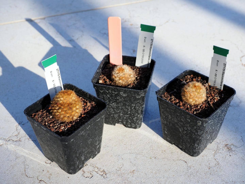 Ces Mammillaria Carmenae sont en danger critique d'extinction d'après certaines sources. D'après le Centre botanique, l'espèce est éteinte dans la nature.