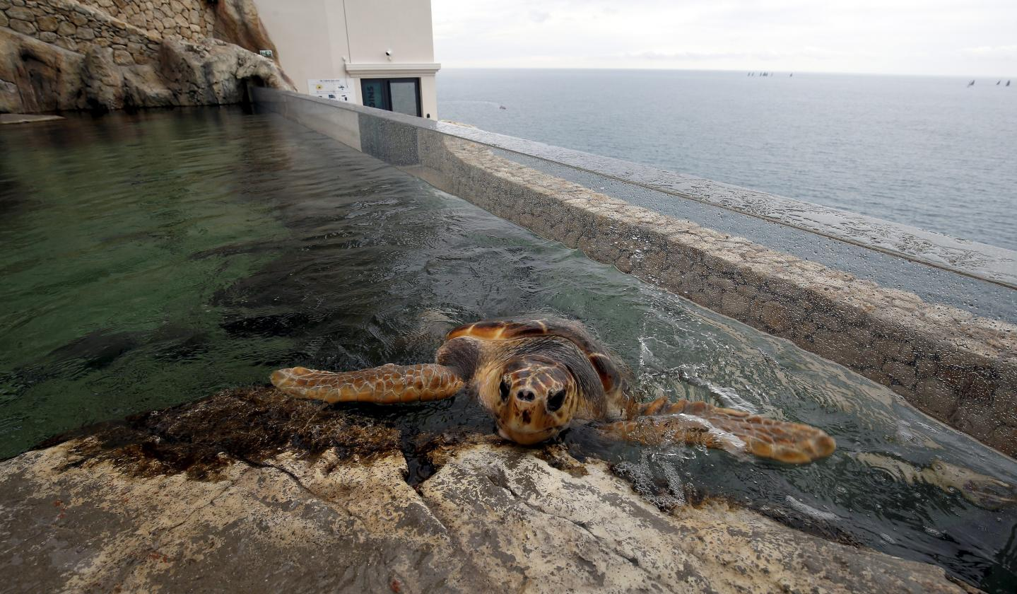 L'Odyssée des tortues marines ouvrira ce samedi lors de la fête du Musée.