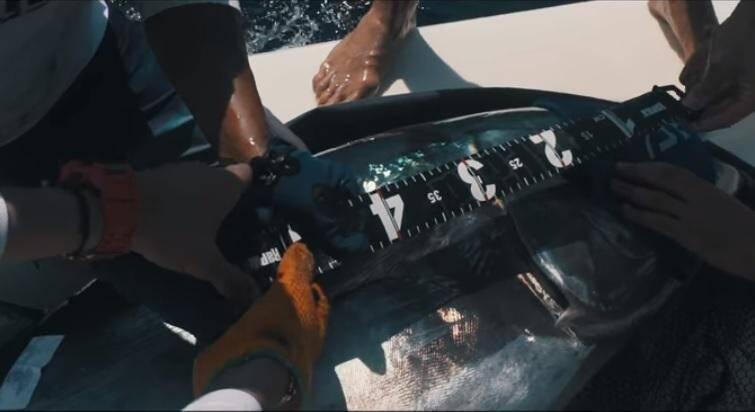 Chaque poisson pêché sera relâché. Un marquage de thons rouges sera organisé avec un protocole spécifique à respecter.