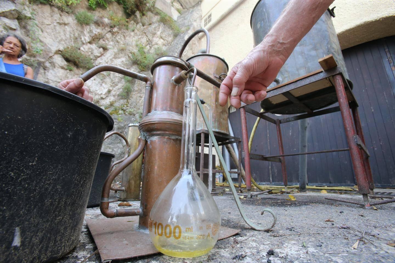 Un litre et demi d'huile essentielle a été extrait des 500 kg de lavande fraîchement cueillie