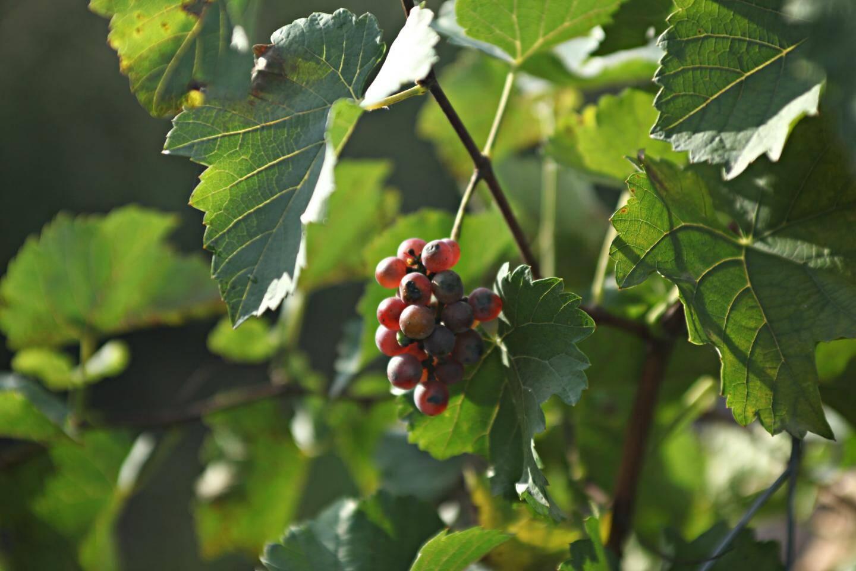 Plantées au mois d'avril dernier, ces vignes de souvignier gris n'ont pas ou peu besoin de traitement.