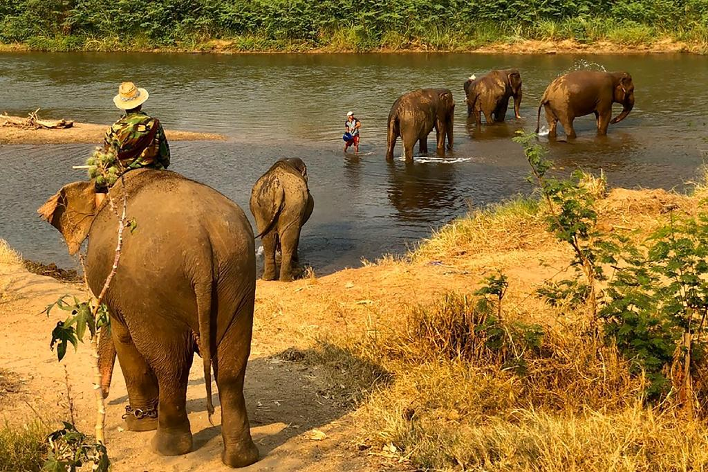 Photo diffusée le 30 mars 2020 par la Thai Elephant Alliance Association montrant des éléphants avec leurs mahouts, près de Chiang Mai, en Thaïlande