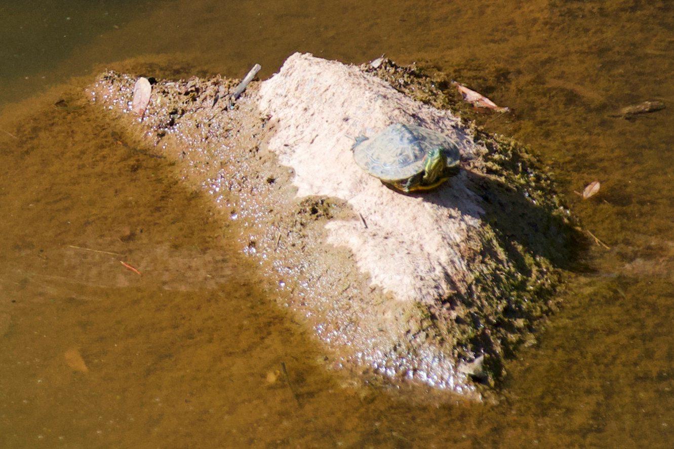 Une tortue d'eau aperçue sur le parcours de la randonnée.