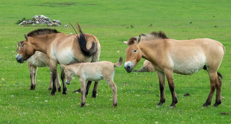 Les chevaux de Przewalski évoluent aux Monts d'Azur, royaume de la faune sauvage, au côté des bisons.