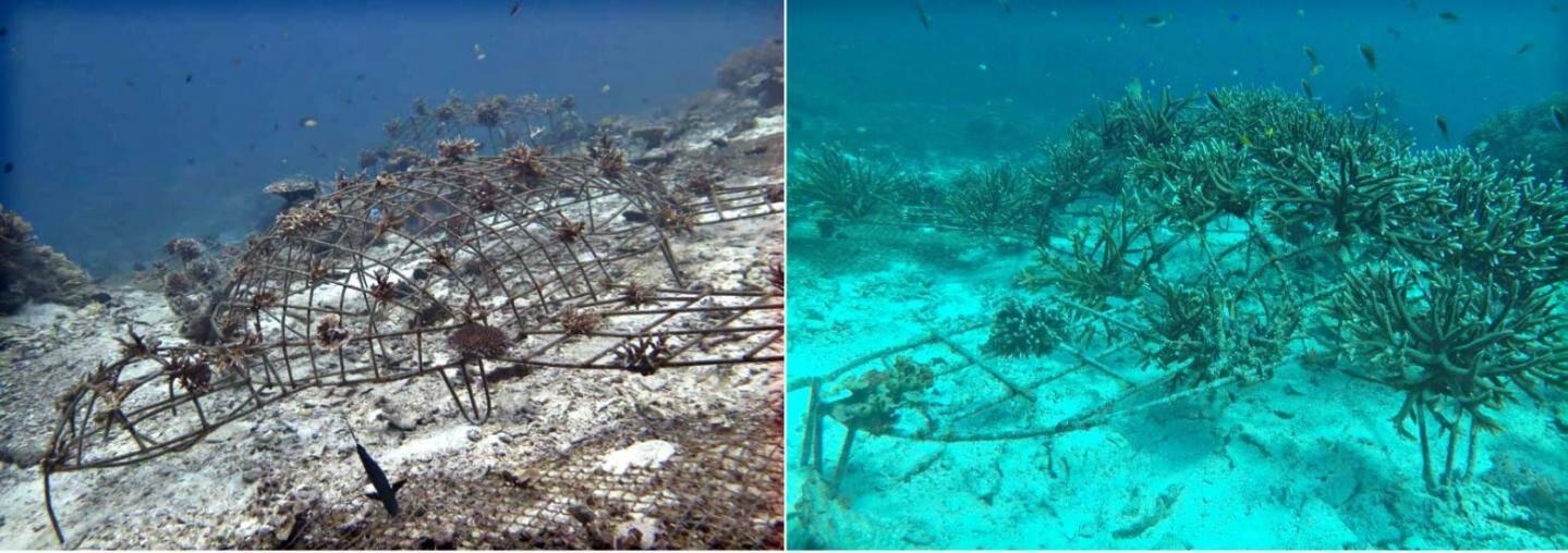 Un avant-après : sept mois séparent ces deux photographies où les coraux trouvent leur aisance pour se développer grâce à l'association.