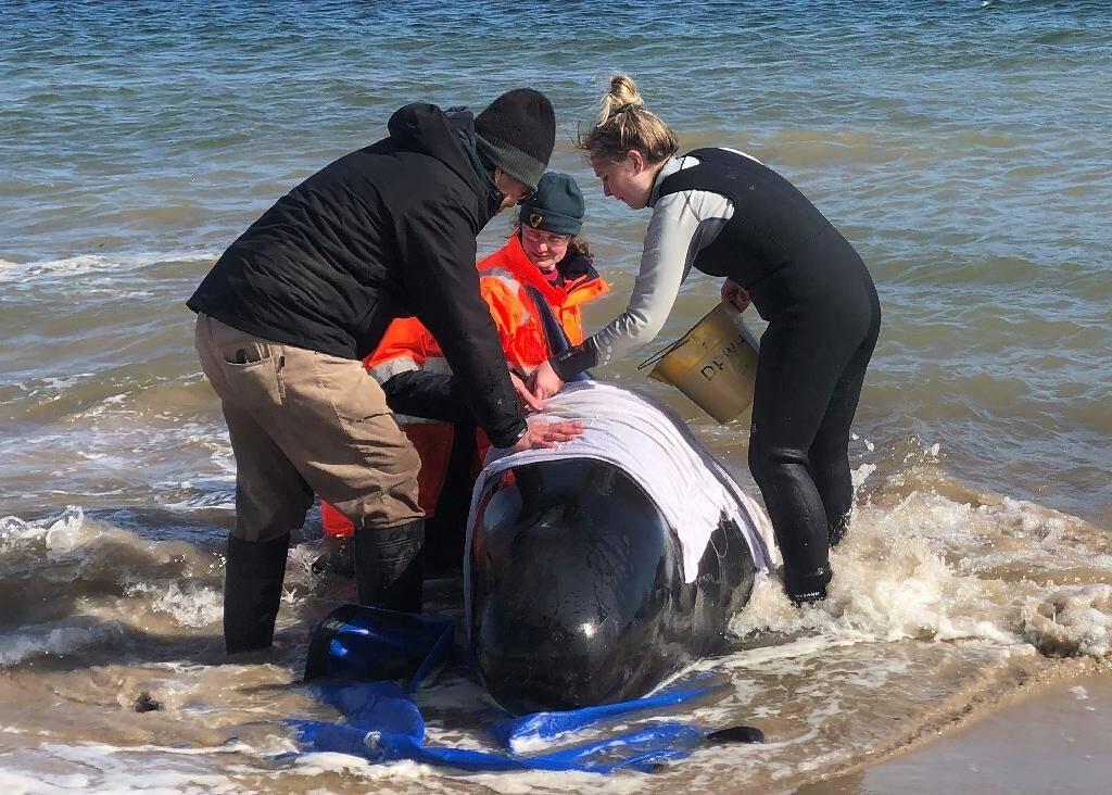 """Photo fournie le 22 septembre 2020 par la police de Tasmanie de personnes tentant d'aider des """"dauphins-pilotes"""" échoués dans la baie de Macquarie Harbour, dans le sud-ouest de l'Australie"""