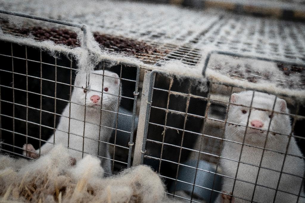 Des visons d'élevage qui doivent être abattus près de Naestved, au Danemark, le 6 novembre 2020