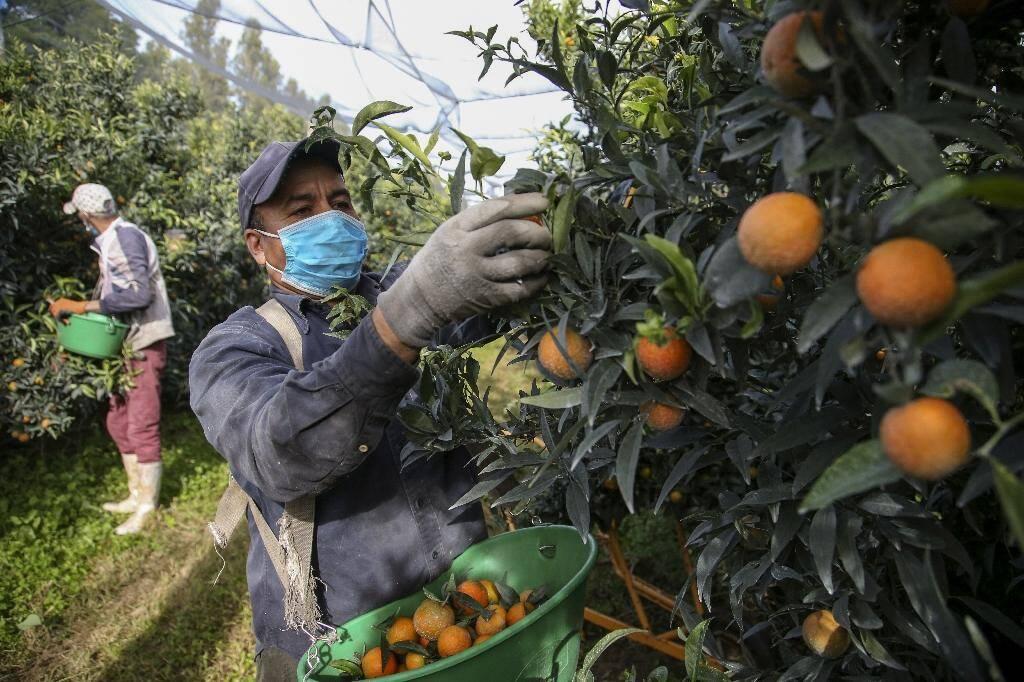 La cueillette de la clémentine demande de la précision. Ici un saisonnier marocain à l'exercice à Folelli le 29 octobre 2020