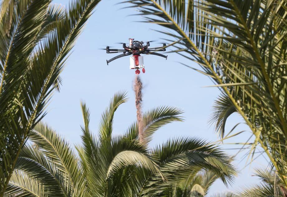 Présent sur tout le pourtour de la Méditerranée et particulièrement dans le Var, notamment à Hyères, le charançon rouge est apparu en France en 2006. Cet insecte est un ravageur qui consomme les fibres des palmiers jusqu'à provoquer leur mort. À l'échelle méditerranéenne, les dégâts causés par ce parasite sont estimés à plus de 500 millions par l'Organisation des Nations unies pour l'alimentation et l'agriculture (FAO).