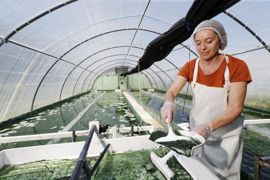L'algue pousse dans de gigantesques bassins, sous serres, où la température est idéale pour sa croissance.