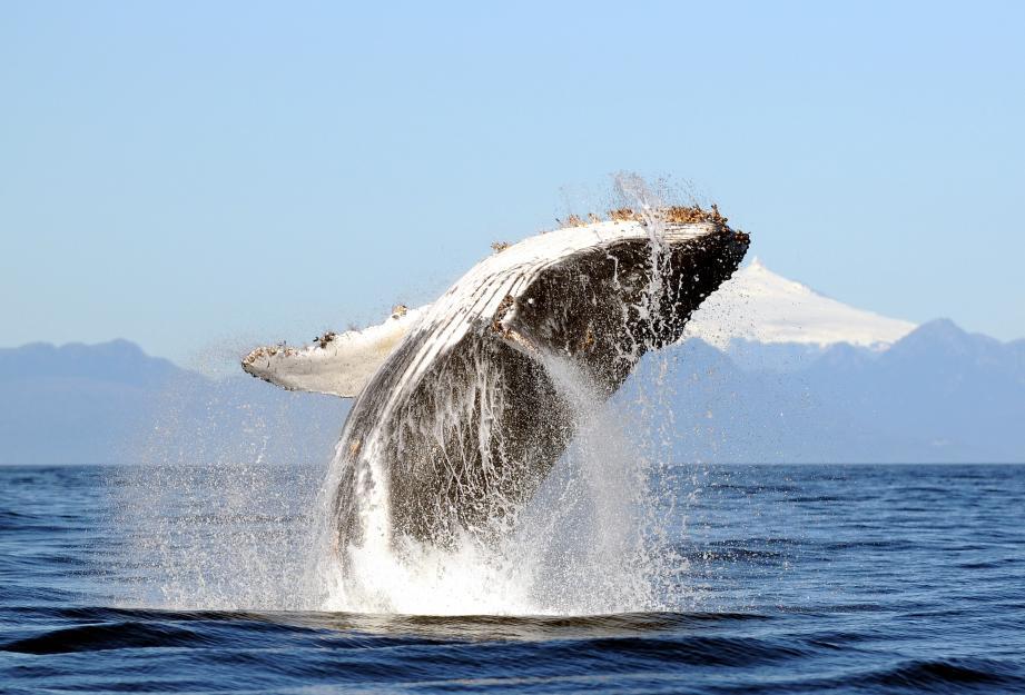 La protection et l'interdiction de la chasse des baleines à bosse a permis à cette espèce de voir sa population progresser: de 100 en 1968 à 40.000 aujourd'hui.