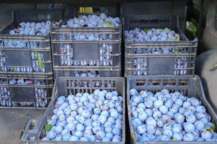 Près de 500 kilos de prunes ont été récoltés cette années.