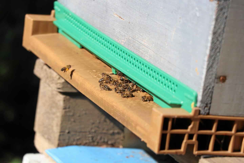 C'est sur la piste d'envol que les abeilles sont le plus vulnérables. Fatiguées par le transport du pollen jusqu'à la ruche, elles sont dévorées par le frelon asiatique, qui n'a qu'à patienter en vol stationnaire.