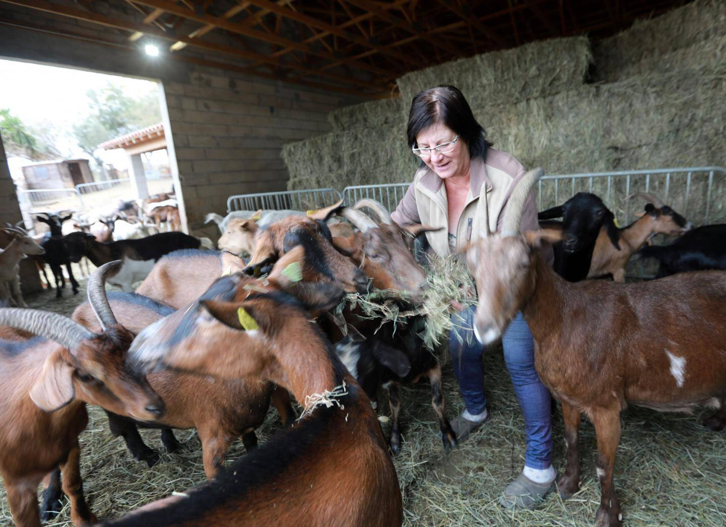 Tous les jours, les chèvres reçoivent un complément de nourriture en foin dont le coût a augmenté de 15 euros par tonne avec la sécheresse.