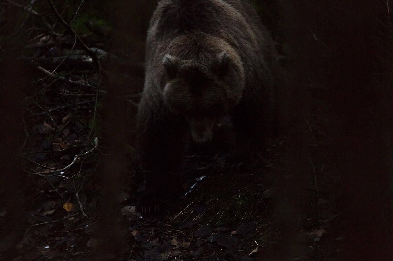 Le mythique grizzly.