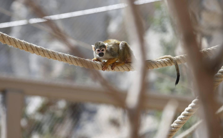Les singes écureuils gambadent dans un nouvel espace de 8 mètres de haut.