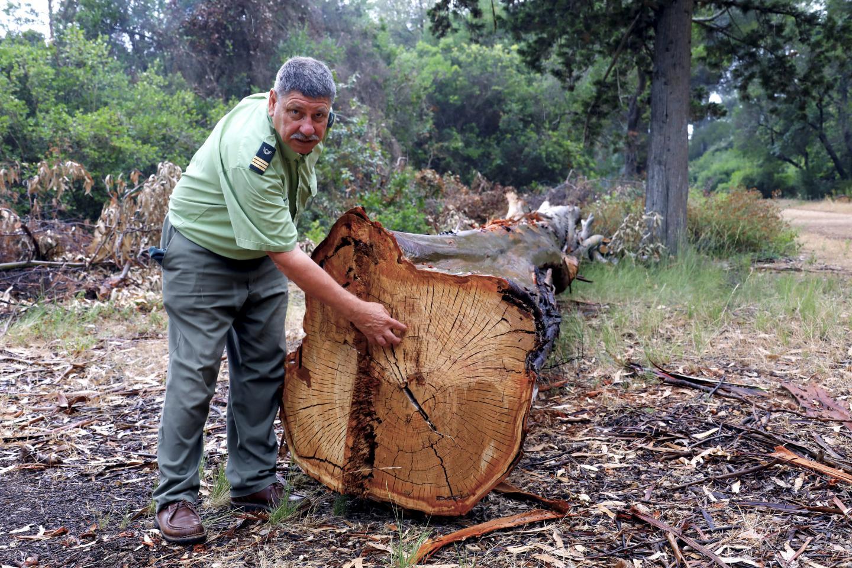 Vincent Kulesza montre à quel point la sécheresse a abîmé les arbres.