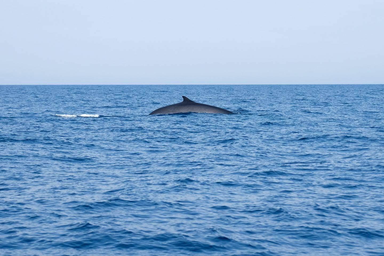 """Pour les rorquals communs, cachalots et autres cétacés de Méditerranée, le Sanctuaire Pelagos représente un """"excellent garde-manger estival""""."""