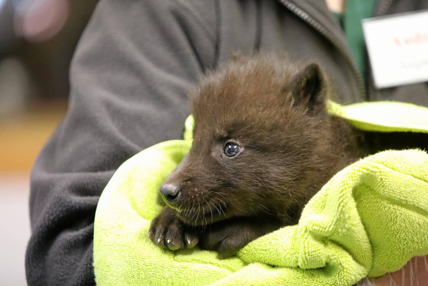 À l'âge adulte, un loup de race canadienne peut atteindre les 80kg