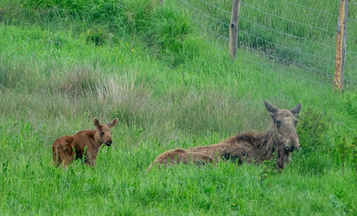 Le bébé élan est né au sein du parc s'acclimatera plus facilement à ces grands espaces que sa mère provenant d'un parc zoologique en Suède.