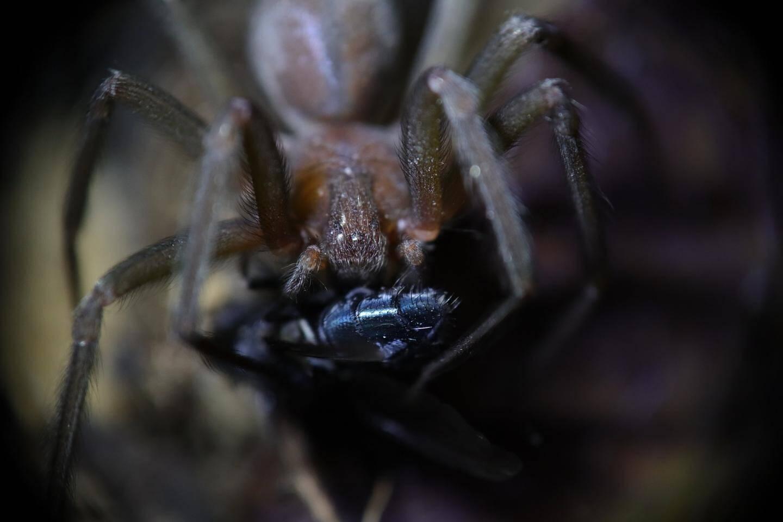 L'araignée-violoniste.