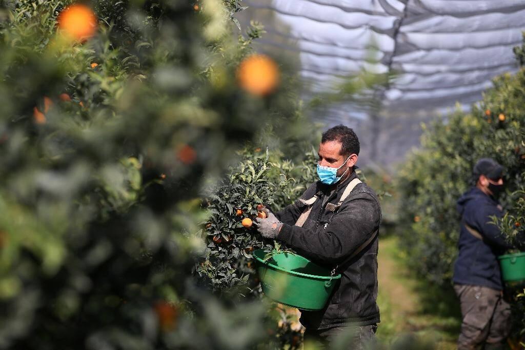 Un travailleur marcocain au travail dans une exploitation corse de clémentines le 29 octobre 2020 à Folelli